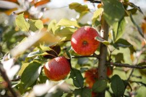 Bio-Apfel von Tiroler Naturbua